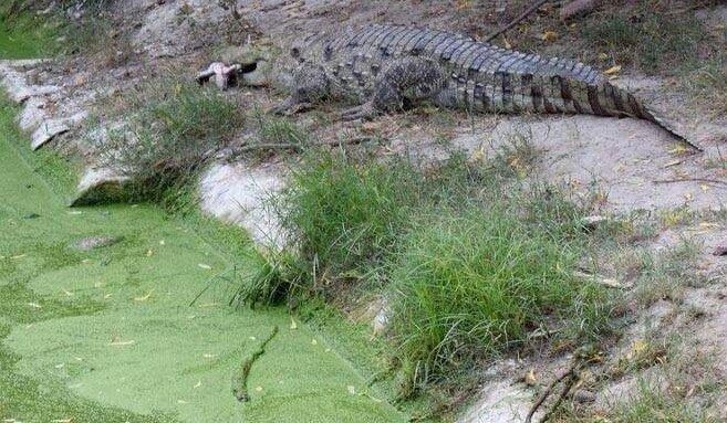 citizens bid farewell to bahawalpur zoo s male crocodile