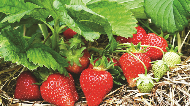strawberry cultivation at its peak