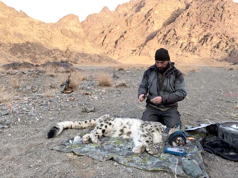 an expert puts a tracking collar on a snow leopard photo express