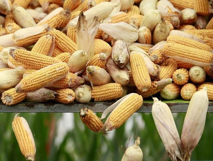 major stakeholders reject sowing of gm corn seeds