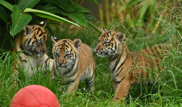 two female cubs and their brother explored the outside environment for the first time at sydney 039 s taronga zoo photo afp