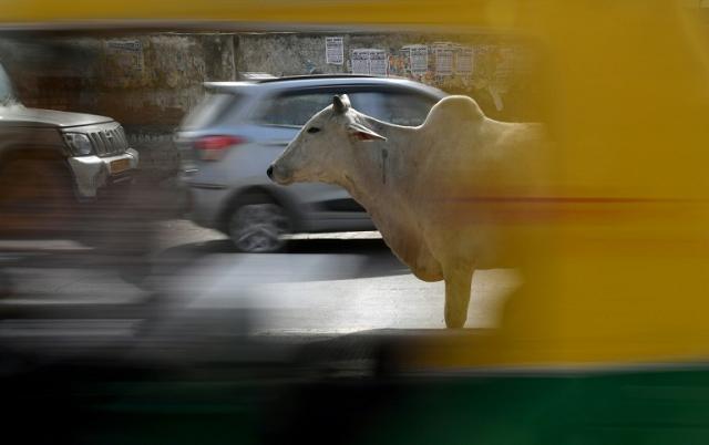 cows come home to haunt india s modi