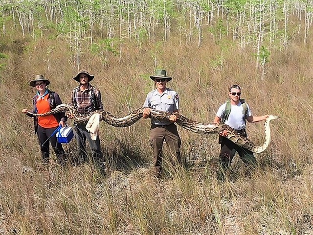 this photograph obtained april 7 2019 courtesy of the big cypress national preserve in florida shows a team of hunters holding one of the largest pythons ever captured in the region   measuring over 17 feet photo afp