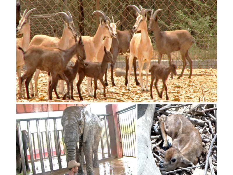 special arrangements in enclosures made at gulshan e iqbal s safari park to ensure the animals are not adversely affected by the city s heat photos express