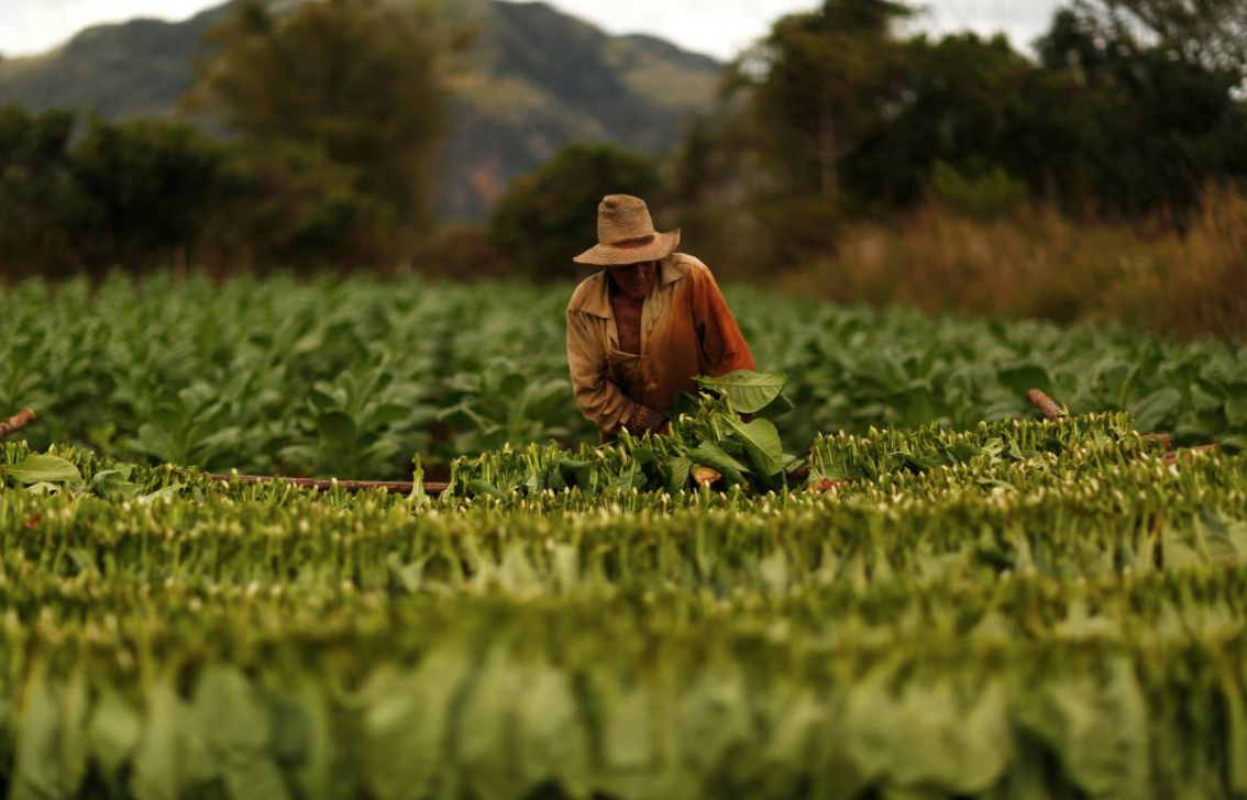 a farmer harvests tobacco leaves at a plantation in the valley of vinales photo reuters