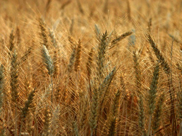 rains badly impact wheat crop harvest