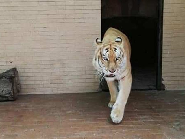 18 big cats welcomed at lahore s zoos
