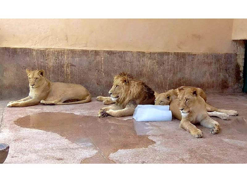 animals in lahore zoos feel the heat