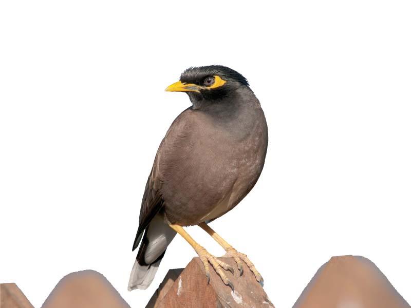how cement silenced the songbird