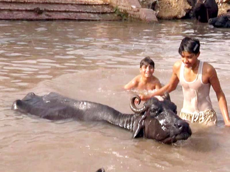 Buffaloes are usually eager to get into the water. PHOTO: EXPRESS