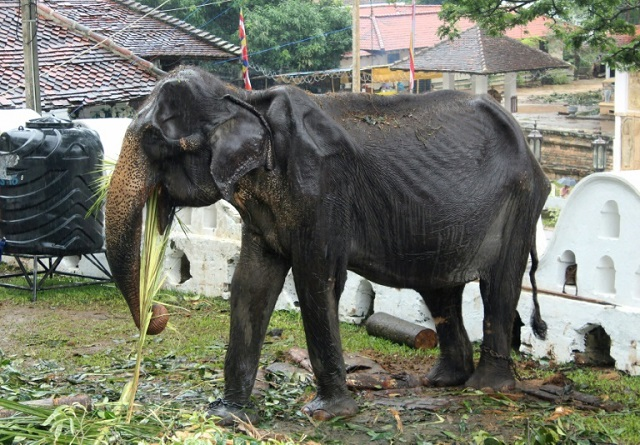 elderly skeletal elephant spared sri lanka parade