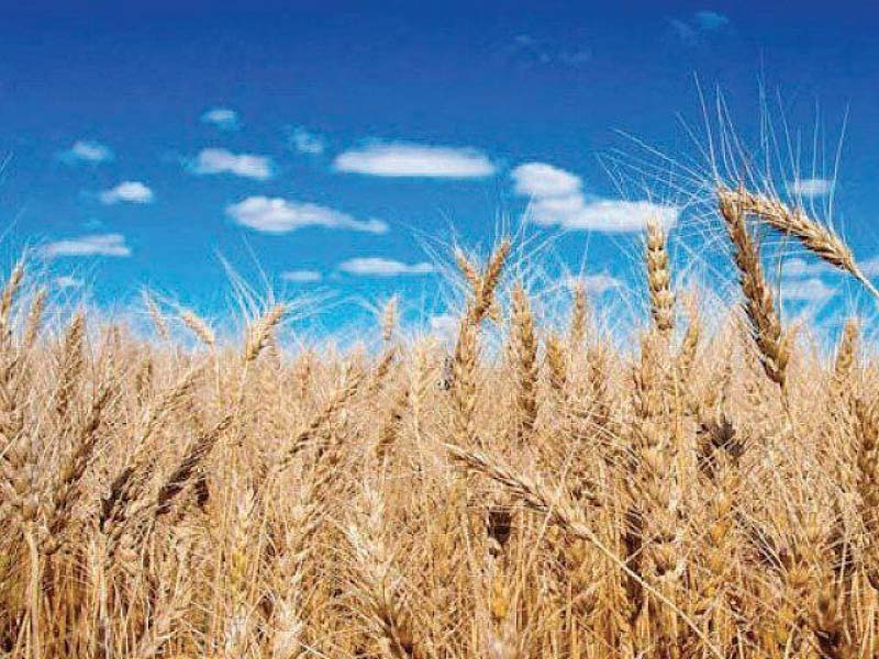 wheat is a staple food crop of pakistan and accounts for nearly 36 of the total cropped area 30 of value addition in major crops and 76 of the total production of food grains photo file