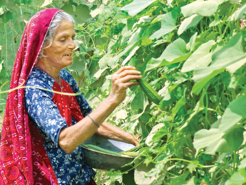 An agricultural worker picks vegetables in a field in Tando Muhammad Khan. The proposed bill would ensure she is paid the same as a male labourer doing the same work. PHOTO COURTESY: IFTIKHAR TALPUR