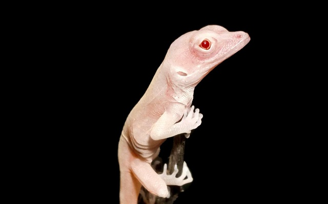 scientists create all white albino lizards