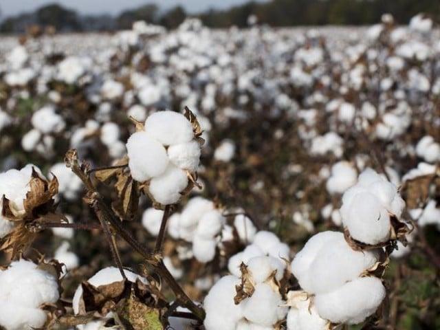 Cotton crop. PHOTO: REUTERS