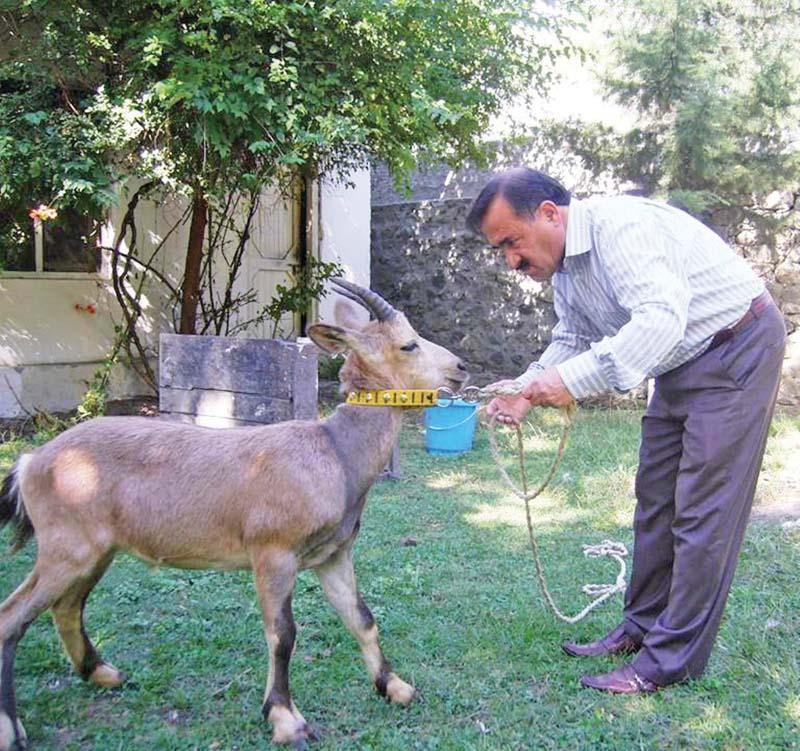 saving pakistan s ibex hunting programme
