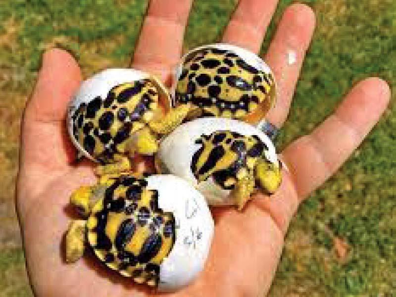 ensuring protection of star tortoise