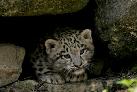 three booked for selling leopard cubs