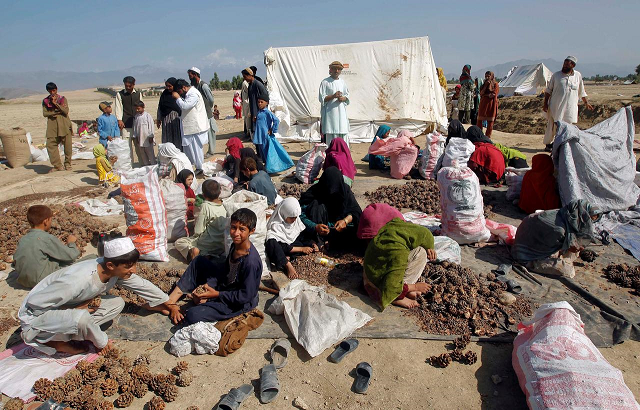 Afghans work on a pine nuts field in Jalalabad province October 10, 2012. PHOTO: REUTERS