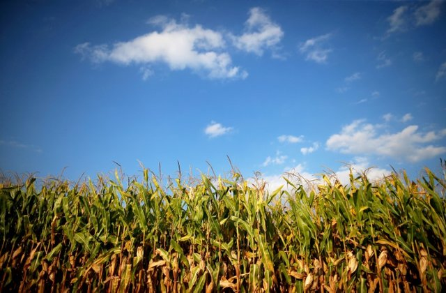 crop yields at risk from rising temperature