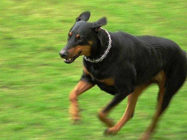 larkana struggles to provide vaccines as incidence of dog bite cases rises