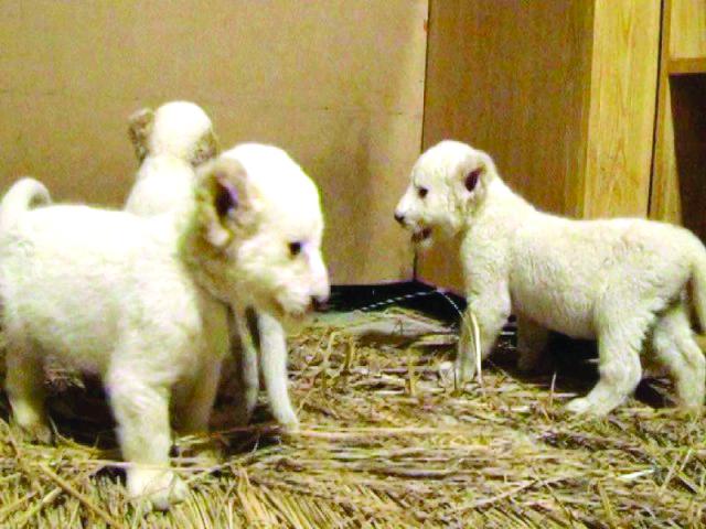 three white tigress cubs die at lahore zoo