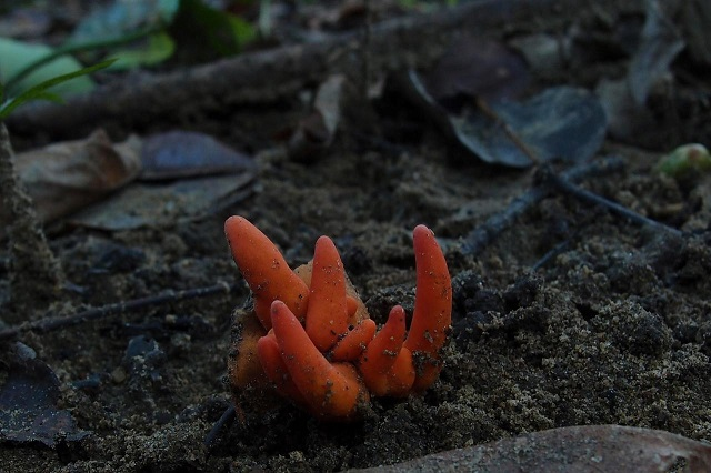 poison fire coral fungus is seen in cairns queensland australia in this undated picture obtained from social media photo reuters