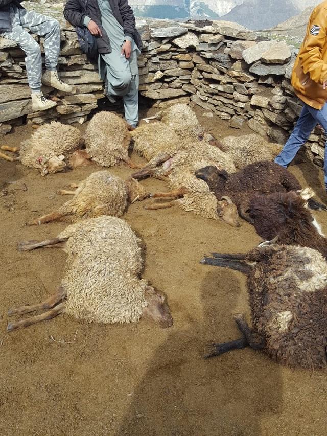 villagers raise alarm as snow leopard kills 25 sheep in gilgit baltistan