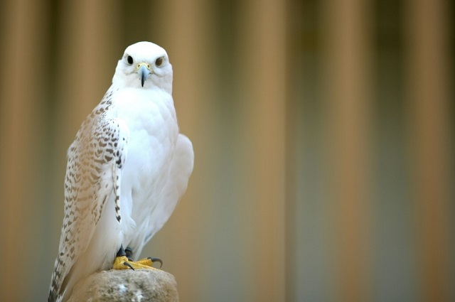 spanish falcons feed arab passion for raptor hunting