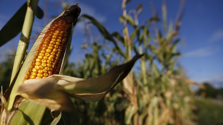 A cob of corn is seen in a field. PHOTO: REUTERS