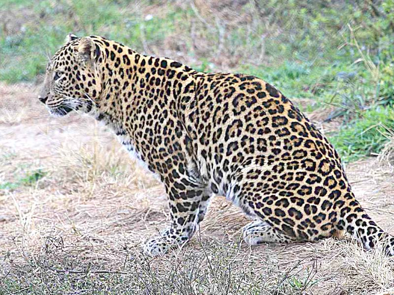 wildlife in peril rising human wildlife conflict leads to loss of fauna in k p