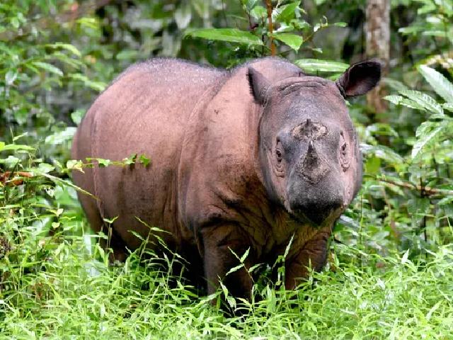 malaysia s last known sumatran rhino dies