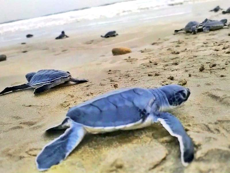 Pakistan Lost Around 30% Of Nesting Grounds For Green Turtles In The Past Decade