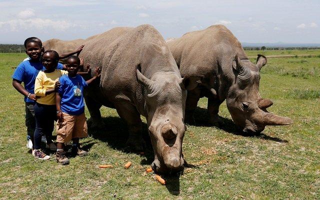 hope rising to save nearly extinct northern white rhino