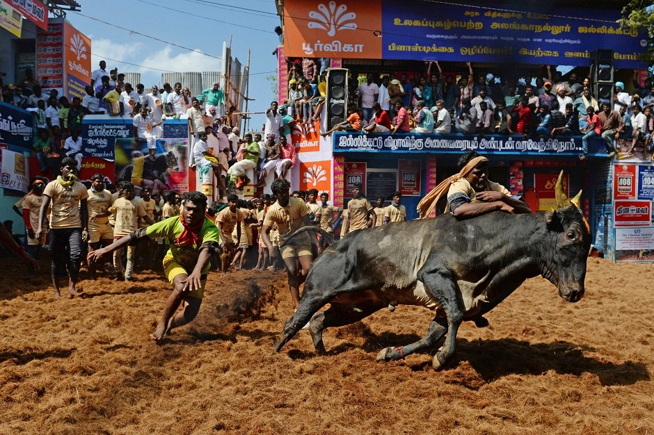 in pictures traditional bull taming festival leaves dozens injured