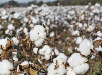 cotton production declines by whopping 34
