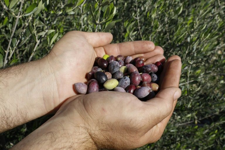 Olives picked in northern Cyprus face obstacles making it to market. PHOTO: AFP