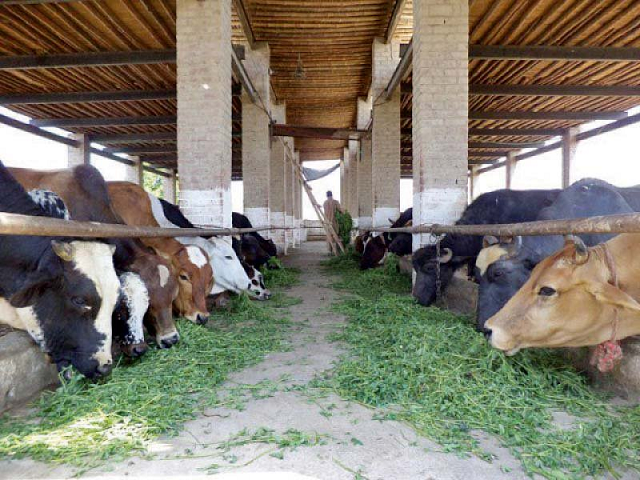 balochistan govt to provide subsidies to dairy farmers