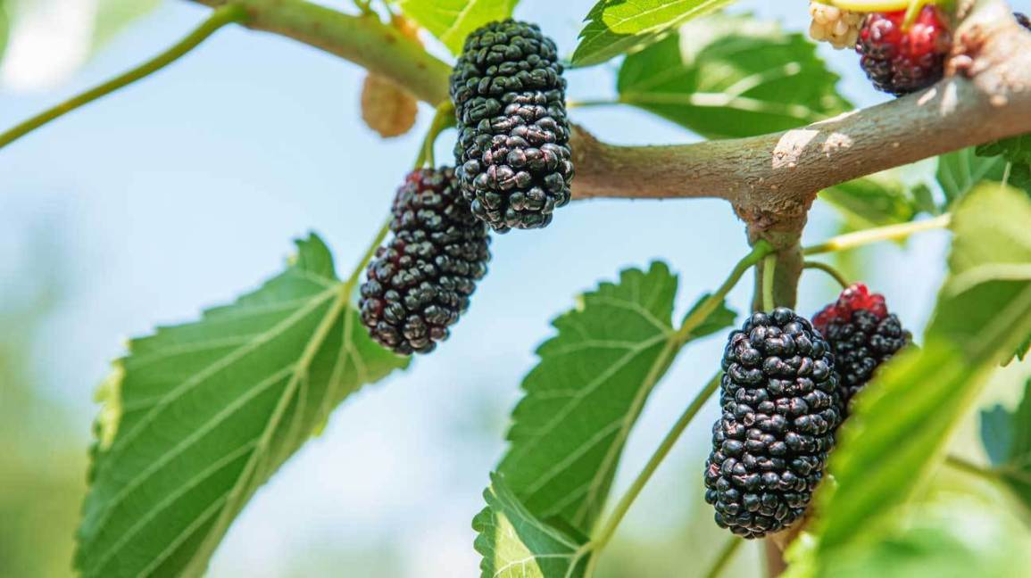 mulberry photo healthline