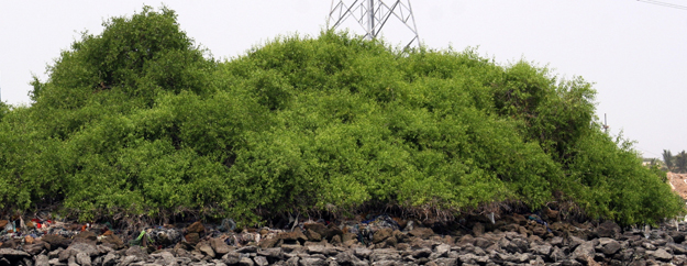 mangroves in sindh photo file