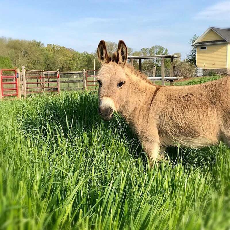 mambo the miniature donkey will spruce up your boring video meeting but for a price photo peace n peas farm