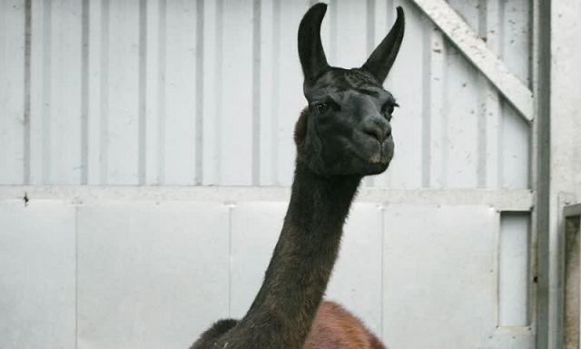 scientists posit llama antibodies could be significant in beating covid 19