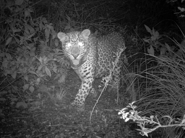 leopards spotted in islamabad park as coronavirus clears way
