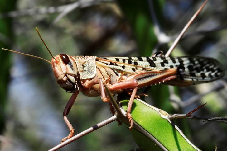surging locust attacks pose great threat to food security