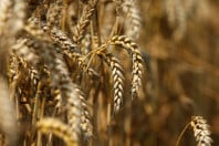wheat crop set ablaze