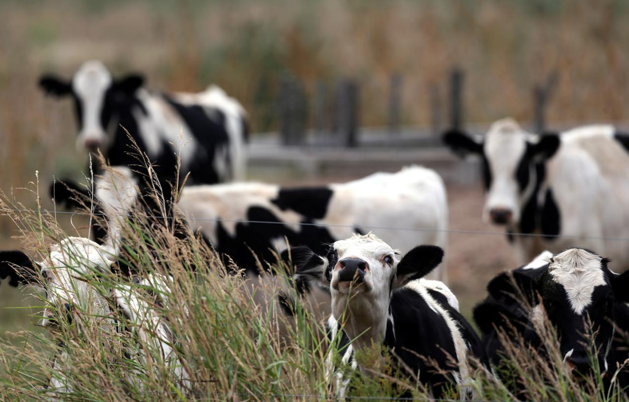 A Reuters file image of cows.