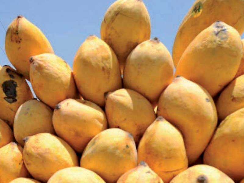 pakistani mangoes can be effectively promoted through commercial attaches and pakistani embassies operating abroad photo file