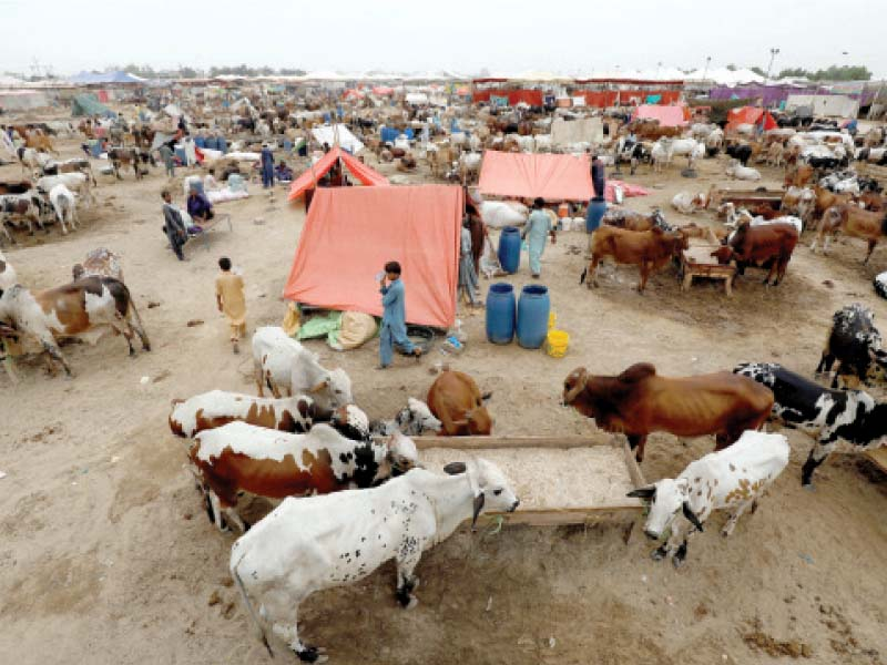 Although Eidul Azha is less than a week away, Karachi's main cattle market is less busy than it used to be on such occasions in the past. PHOTO: REUTERS