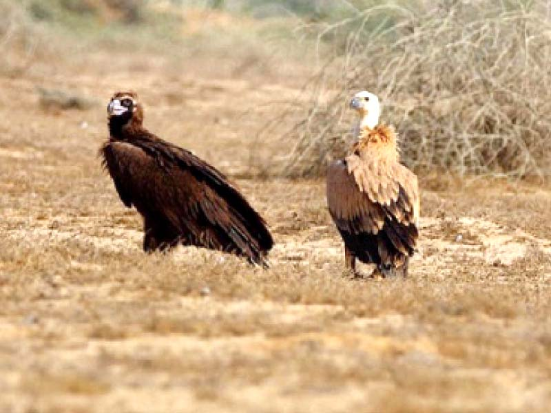 while vulture populations in pakistan are critically endangered some species have shown an increase in numbers in tharparkar long considered a stronghold of these scavengers in sindh photo file