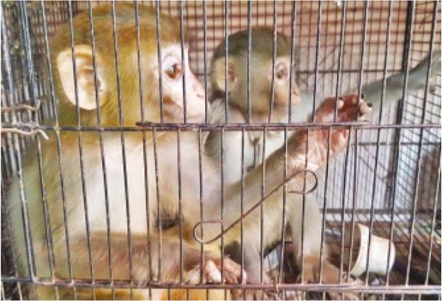 four monkeys rescued from karachi s empress market